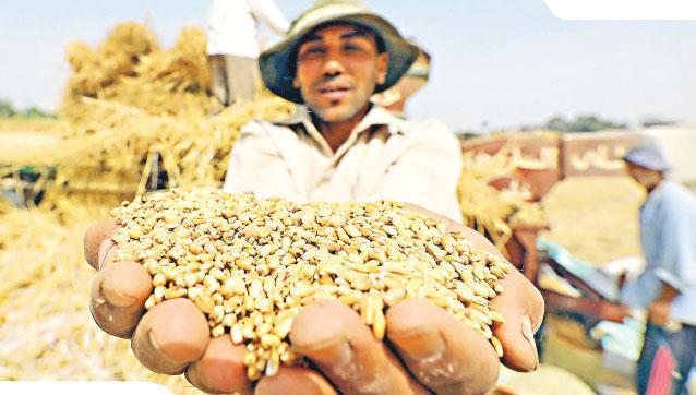 氣候變暖妨礙部分熱帶地區的農作物生產,部分氣候相對溫和的國家則受惠氣候暖化,農作物產量增加。圖為埃及小麥農。