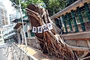 地政總署日前移除港大對出兩棵石牆樹,港大地理學系講座教授詹志勇周一向本報披露,港大3年前已向樹木辦建議加設纜索穩固兩樹。發展局昨回覆稱,已詳細探討包括詹志勇的方案,但未能減低兩樹和矮牆一起倒塌的風險,基於公眾安全考慮決定移除兩樹。(李紹昌攝)