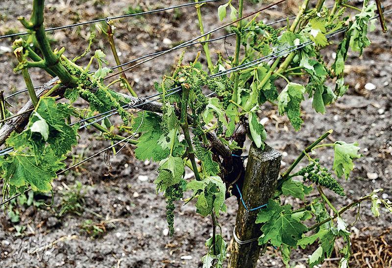 圖為干邑區葡萄樹上周六被冰雹重創。(法新社)