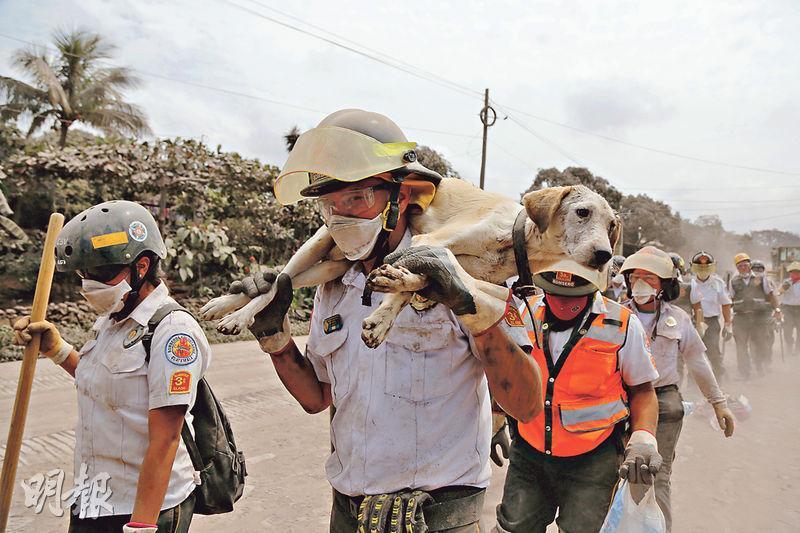 埃斯昆特拉省(Escuintla)受災嚴重,一名消防員周二把一頭狗背在肩上撤離。(路透社)