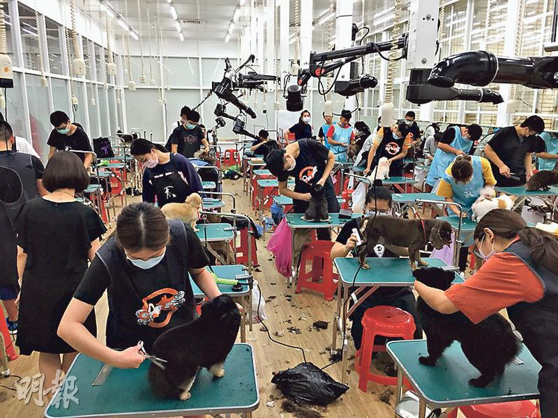 寵物美容學士學位課程在台灣是新興學科。私立的大仁科技大學寵物美容學士學位課程,每名學生上課時均獲一隻狗作練習,圖為學生學習為狗剪毛。(王丹麟攝)
