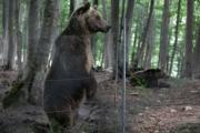 An adult brown bear (Xinhua Photo)