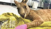 周六誤闖民居的袋鼠被帶到動物保育組織接受治療。(網上圖片)