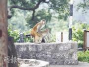 Do not feed monkeys in Hong Kong. The monkeys will learn to bother humans and go into human homes for food. (Mingpao Photo)