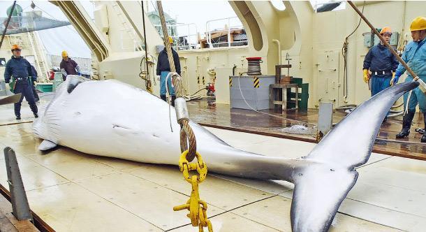 日本一直以科研為名捕鯨,引起保育組織批評。(網上圖片)