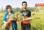 新疆喀什市帕哈太克里鄉周日上午舉行海水稻開鐮儀式,源自廣東湛江的海水稻在新疆喀什成功試種,產量達每畝549公斤。(網上圖片)