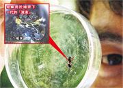 中國科學家發現,雲南的大蟻蛛通過分泌類似乳汁的液體養育後代。(網上圖片)