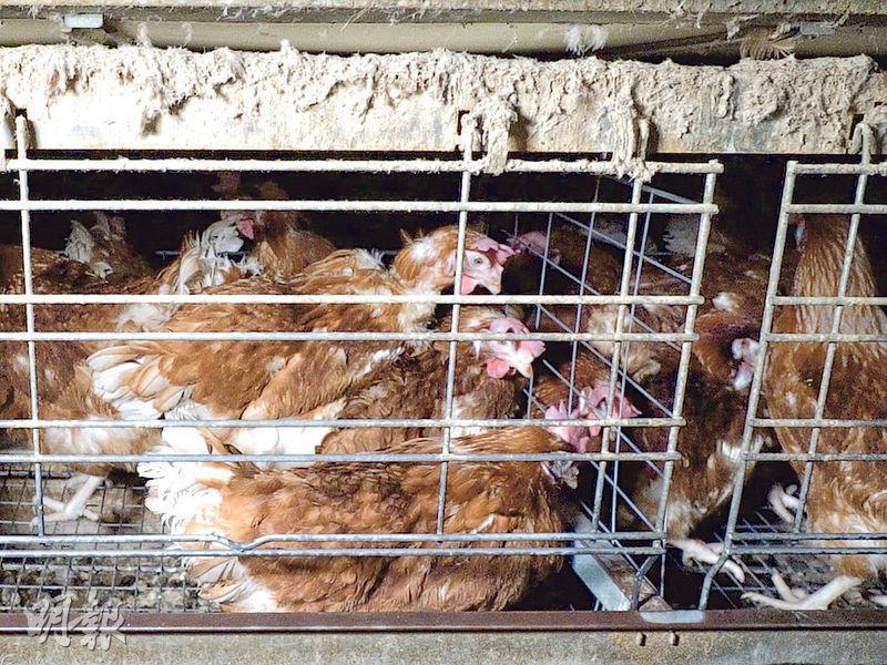 國際動物保護組織「Lever槓桿」公開一段影片,發現位於澳洲、並有供應雞蛋給某國際連鎖快餐店香港分店的農場,衛生環境極度惡劣。而且由於雞只能於籠內排泄,所以雞蛋也可能沾染糞便。(「Lever槓桿」影片截圖)