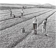 華西村歷史不長,1961年才建村,最初全村約有380戶共1520常住人口,面積0.96平方公里,村民以農耕為主。(網上圖片)