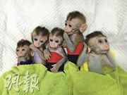 中國科學家近日利用基因編輯和體細胞複製技術,創建出5隻生物鐘紊亂的獼猴。(新華社)