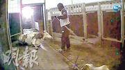 波蘭電視台記者偷拍的片段顯示,乳牛不能站立,要靠機械絞動栓綁着牛角的繩索拉行,而且牛身有生瘡、發出腐臭等病徵。(網上圖片)