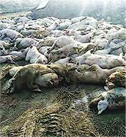 河北大午農牧集團近日傳出有1.5萬頭豬隻暴斃。(網上圖片)