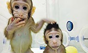 「基於體細胞核移植技術成功複製出獼猴」被列為中國科技十大進展的首位。圖為兩隻健康生存的複製猴。(網上圖片)