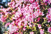 除了欣賞盛開的錦繡杜鵑,希望大家也會想起杜鵑花與鳥的故事。