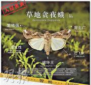 原產於美洲熱帶和亞熱帶地區的雜食性害蟲草地貪夜蛾,主要為害玉米、水稻、甘蔗、煙草等禾本科植物,今年1月入侵中國。(網上圖片)