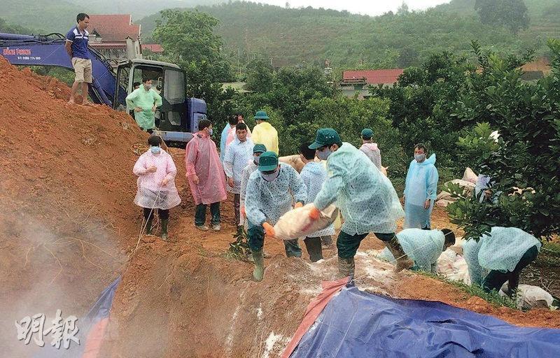 越南北部安沛省為遏止非洲豬瘟蔓延,近日厲行殺病豬及馬上埋葬、消毒行動。(網上圖片)