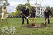 美國總統特朗普(左二)與法國總統馬克龍(右一)去年4月23日在白宮種植象徵兩國邦誼的橡樹,後來已枯死。(法新社)