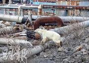 一頭雌性北極熊近日闖進位處北極圈內的俄羅斯工業城鎮諾里爾斯克徘徊找食物,引起關注。(路透社)