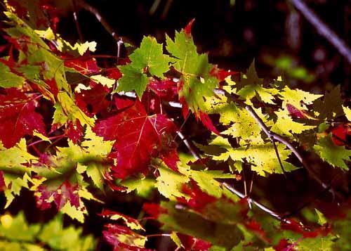 Maple leaves (Photo courtesy of United States Department of Agriculture)