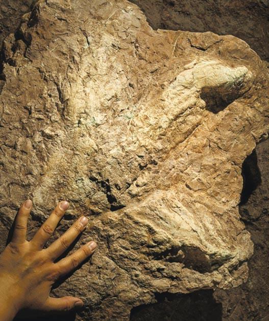 中外古生物學專家昨宣布,在江西贛州發現了中國乃至亞洲首個暴龍類的足迹(圖)。