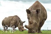 Najin(左)和Fatu(右)是全球僅存的兩頭北方白犀牛,牠們皆是雌性。(法新社)