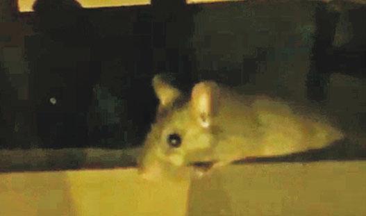 網上流傳片段所見,黃埔泰妹餐廳出現的老鼠長度比手掌還長。(影片截圖)