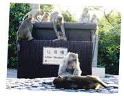 在金山郊野公園,我們不時看到野猴在翻找垃圾箱覓食。