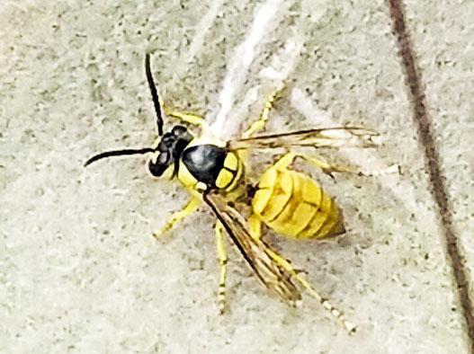 有數隻黃蜂躲在傷者衣服,跟隨被螫傷夫婦的車輛到醫院,曾在車廂飛舞。