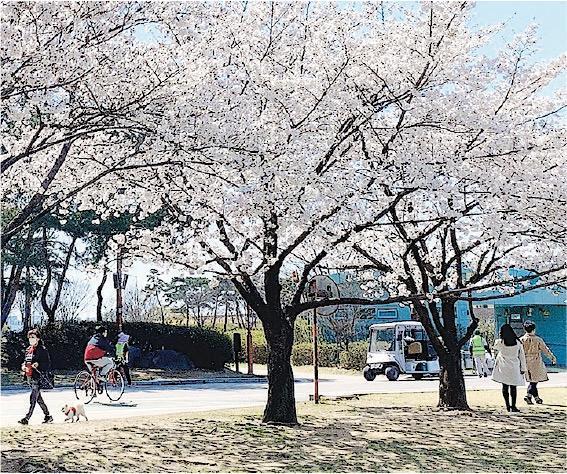 4月是韓國的櫻花季,在疫情下,仍有不少人一家大小都到公園散步和野餐。(李寶賢提供)