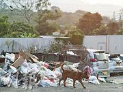 元朗崇山新村內垃圾收集位置堆滿垃圾,面積約為200至300平方呎。元朗區區議員李俊威稱,元朗崇山新村區較「原始」,有農地、豬場、工業,多草叢,雨後往往積水數日至一周,蚊患一向較嚴重。(楊柏賢攝)
