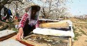 春暖開花之際,中國河北省石家莊的蜂農本月初已開始以傳統方式給梨花授粉(圖)。但西方在疫情下蜂農出行受阻加上工人短缺,恐影響農作物收成。(新華社)