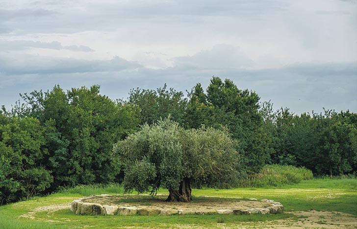 樹不能說話,若想了解它,我們只能閱讀由人記下的文字,以及聆聽口耳相傳的故事。這棵橄欖樹活了一千年,近年從西班牙移植至日本,再次長出樹葉和結果。萬一我們失去了歷史,它只是準備化作燃料的木材。(阮智謙攝)