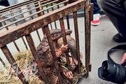 穿山甲(圖)因人類藥用及濫食,數量急劇下降,成為全球最瀕危的野生動物之一。最新出版的2020年版《中國藥典》顯示不再收載穿山甲,日前穿山甲也被提升為國家一級保護動物。(中新社)