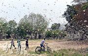 在新德里東南方向的印度北方邦安拉阿巴德(Prayagraj),本月11日有蝗災肆虐。(新華社)