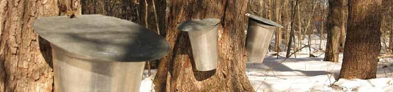 Buckets collecting sap from trees (Photo courtesy of United States Department of Agriculture)