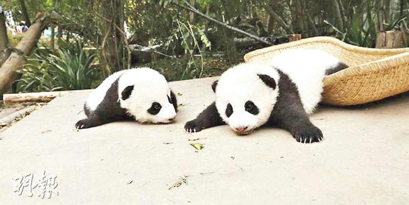 四川成都大熊貓繁育研究基地的大熊貓BB順順、溜溜5月病亡,當局事隔逾月、於周一方公布。(網上圖片)