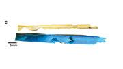 城大研究發現,約一成微塑膠被海洋生物咬噬,加速微塑膠形成。圖為研究團隊於赤柱收集的飲管,被咬噬位置呈三角形。(城大提供)
