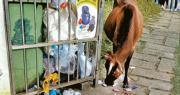 市民趁重陽節假期湧到塔門露營,產生大量垃圾,垃圾桶滿瀉,有牛前往覓食。(西貢牛提供)