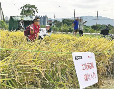 塱原的稻田被圍封,但仍有市民未有理會警告字句,上周六進入稻田拍照「打卡」,部分待收割的稻米被壓毁,開出多條行人路。(香港觀鳥會提供)