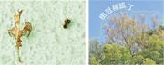 長春社教大家觀察榕樹係咪被蛾蟲咬食,包括睇吓掉落嘅樹葉係咪唔完整、周圍有無蛾蟲(左圖)。另一個發現榕樹被蛾蟲咬食嘅迹象,係樹冠變得稀疏(右圖)。(長春社facebook圖片)