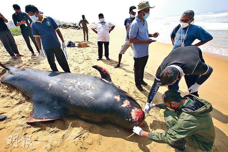 斯里蘭卡人員周二在海灘檢查一條鯨魚屍體。(新華社)
