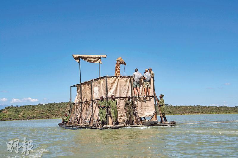 肯尼亞一批長頸鹿本月初因大雨引發的洪水,被困於巴林戈湖中小島,需要救援人員用駁船救出。長頸鹿近年受棲息地、非法狩獵等外來因素衝擊,數量銳減至瀕危程度。(路透社)