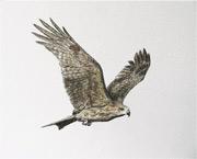 麻鷹又名黑鳶,鳥羽在陽光下卻呈深褐色。(圖.趙曉彤)