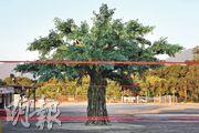 大埔林村的許願廣場昨已貼上告示,稱因疫情關係暫停開放。記者昨午5時所見,未有人在許願樹附近拋寶牒祈福。(曾憲宗攝)