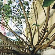 喺皇后大道西嘅永祥大廈,早前渠管淤塞,源頭原來係大廈天台一棵生喺簷篷嘅樹,棵樹約4米高,根莖沿住大廈外牆生長。(市建局圖片)