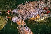 Carol說,櫻花初期種在河畔,以防止河流決堤,後來成為觀賞植物。(©JNTO)