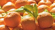 苦橙味道比一般甜橙苦,形狀亦較扁平,表皮較粗糙多皺紋。(受訪者提供)