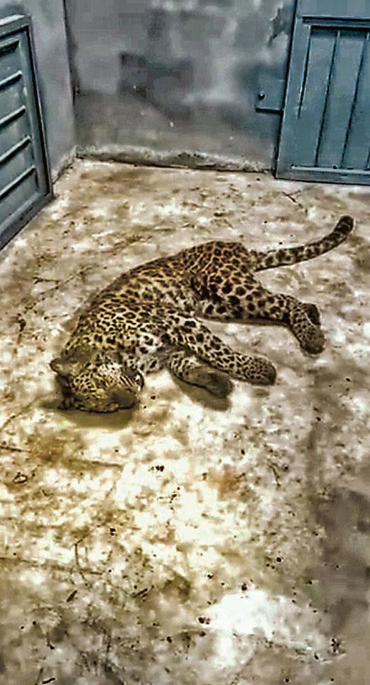 其中一頭年幼金錢豹被麻醉後捉回。(網上圖片)
