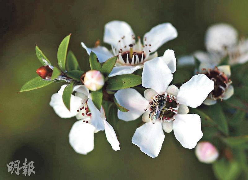 麥盧卡茶花樹(資料圖片)