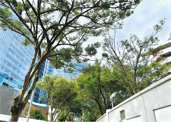 退休樹藝師袁達成說,紅磡紅鸞道一帶約50棵榕樹被朱紅毛斑蛾幼蟲「攻陷」,圖左前方榕樹被啃食約四成樹葉,圖右圍牆內的榕樹被啃食逾五成樹葉,樹頂明顯較稀疏。(受訪者提供)